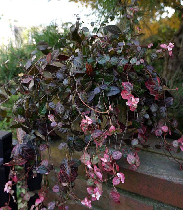 ハツユキカズラの葉が赤くなってきた。2015年-3.jpg