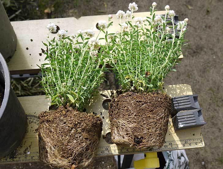 ハナカンザシを鉢に植え替えた1.jpg