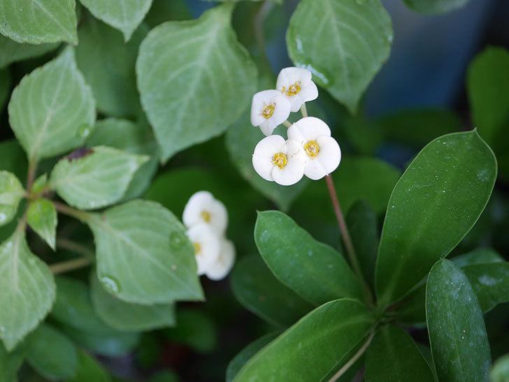 ハナキリン(花麒麟)が咲いた。2018年-4.jpg