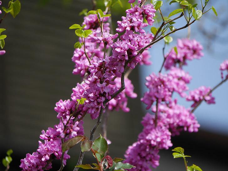 ハナズオウの花がたくさん咲いた。2021年-001.jpg