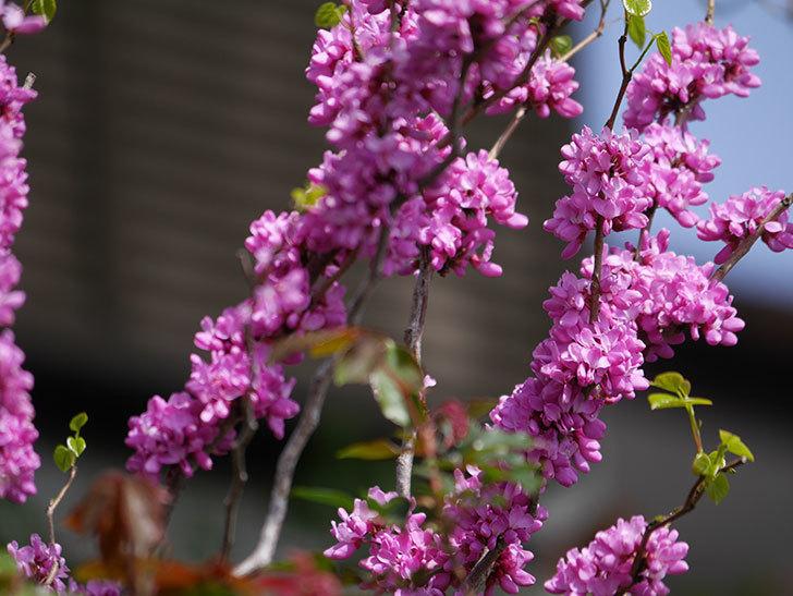 ハナズオウの花がたくさん咲いた。2021年-002.jpg