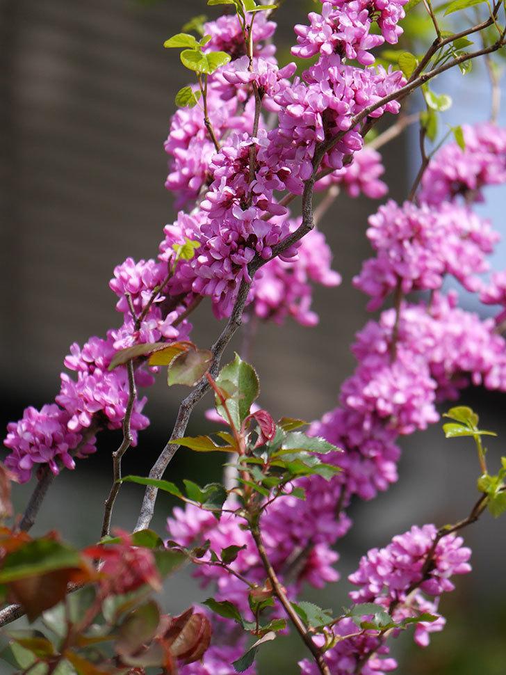 ハナズオウの花がたくさん咲いた。2021年-005.jpg