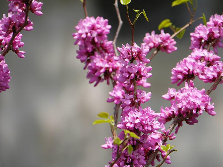 ハナズオウの花がたくさん咲いた。2021年-008.jpg
