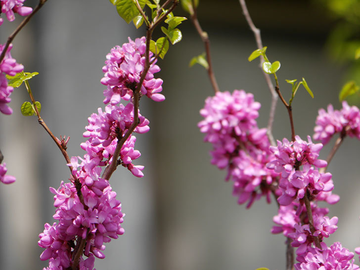 ハナズオウの花がたくさん咲いた。2021年-009.jpg