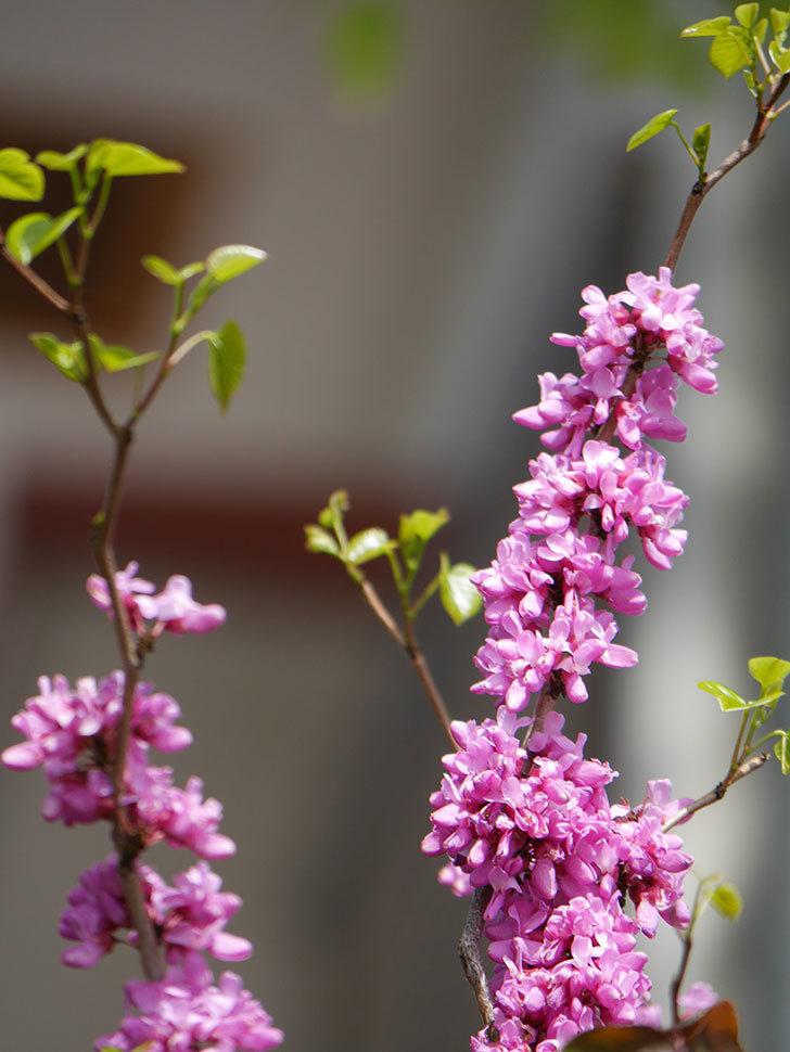 ハナズオウの花がたくさん咲いた。2021年-010.jpg