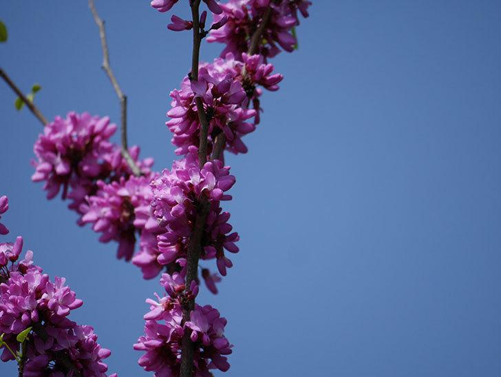 ハナズオウの花がたくさん咲いた。2021年-011.jpg