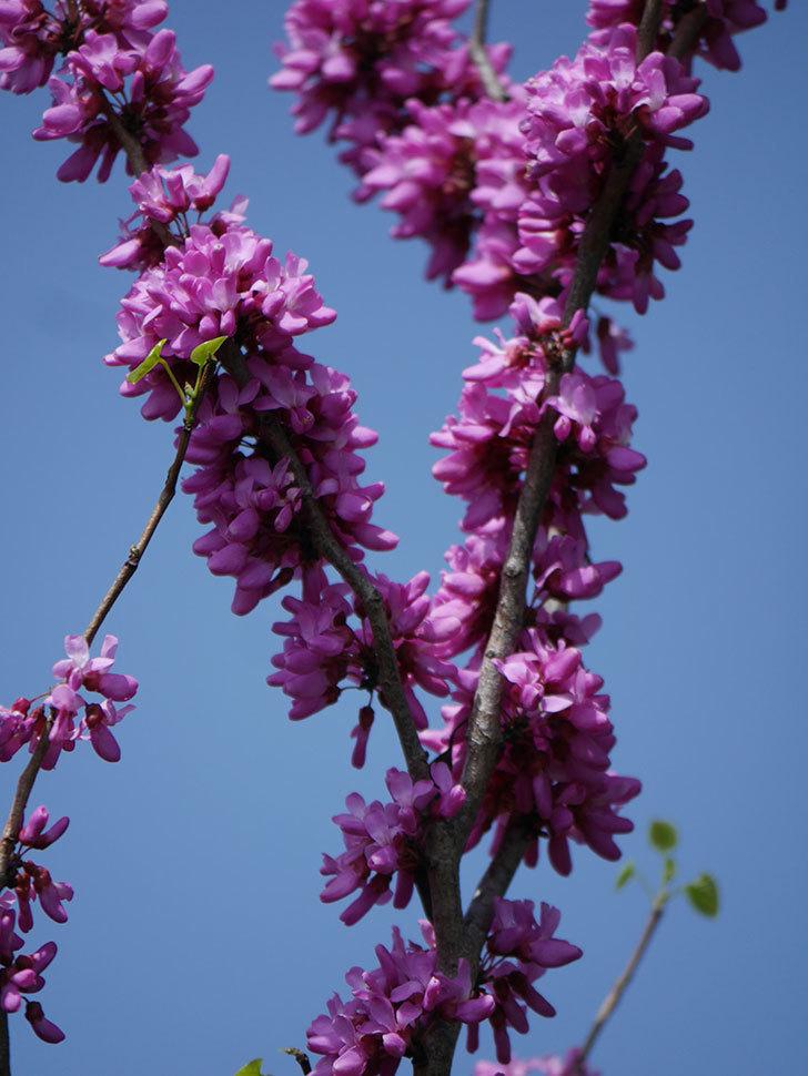 ハナズオウの花がたくさん咲いた。2021年-013.jpg
