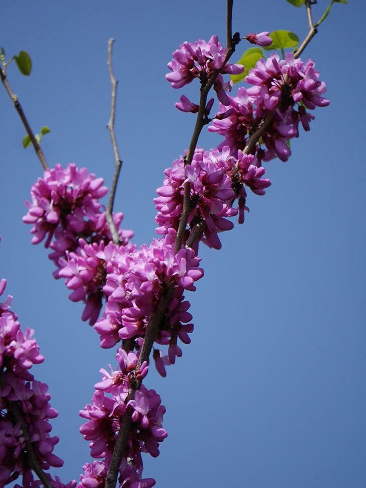 ハナズオウの花がたくさん咲いた。2021年-015.jpg