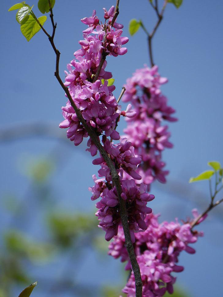 ハナズオウの花がたくさん咲いた。2021年-016.jpg