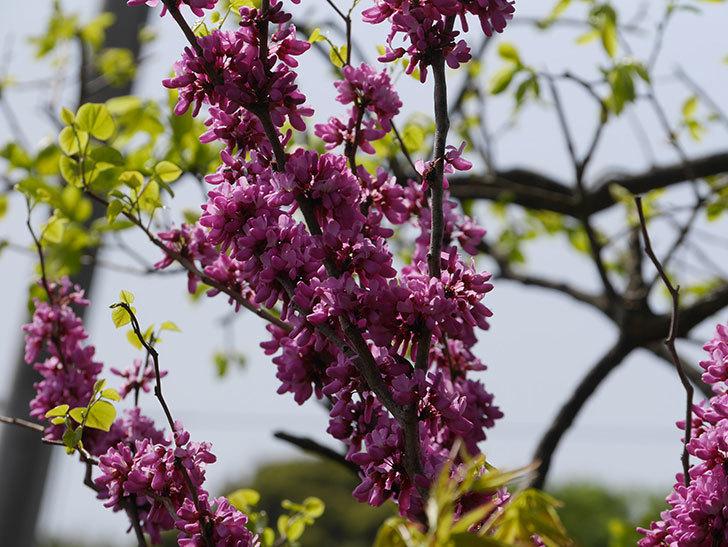 ハナズオウの花がたくさん咲いた。2021年-018.jpg