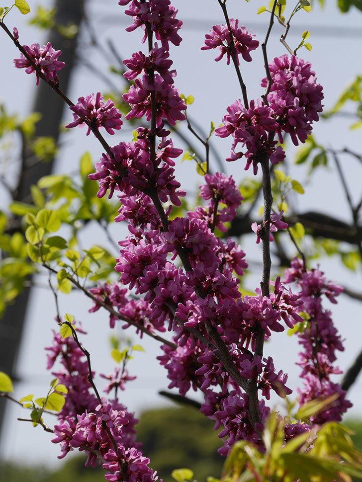 ハナズオウの花がたくさん咲いた。2021年-019.jpg