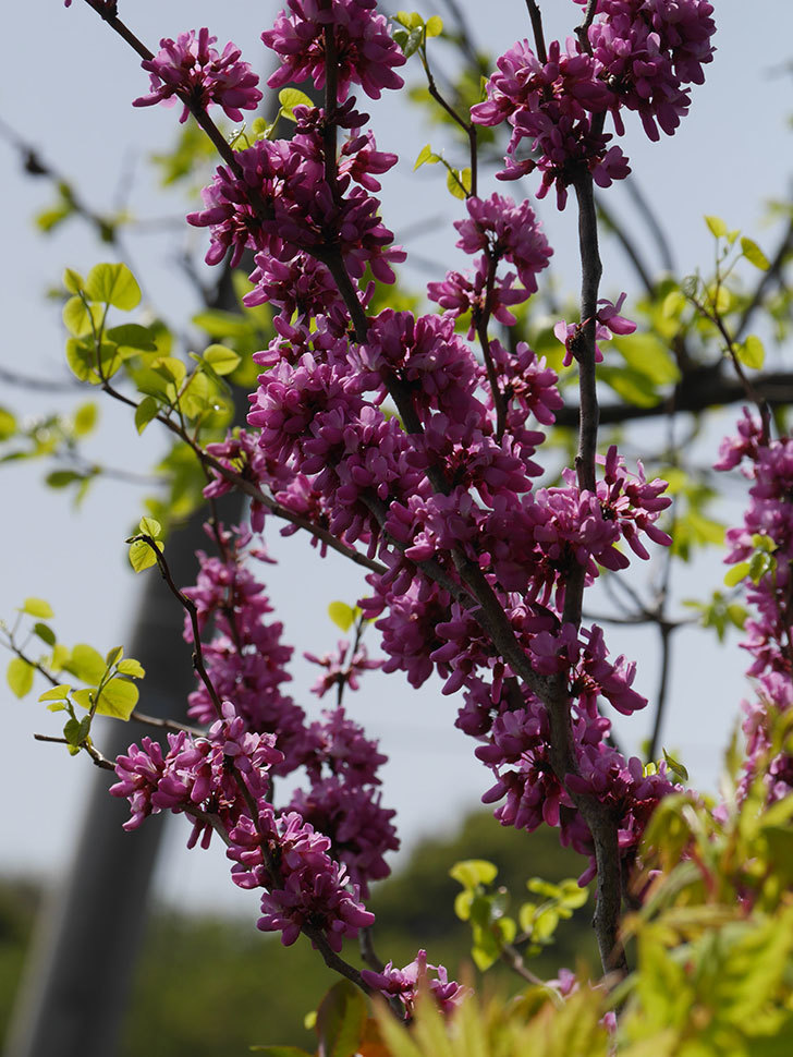 ハナズオウの花がたくさん咲いた。2021年-020.jpg