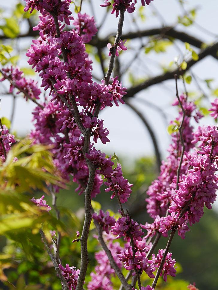 ハナズオウの花がたくさん咲いた。2021年-021.jpg