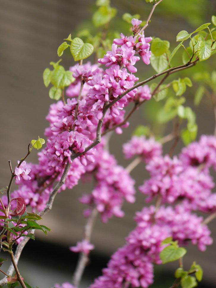 ハナズオウの花がたくさん咲いた。2021年-024.jpg