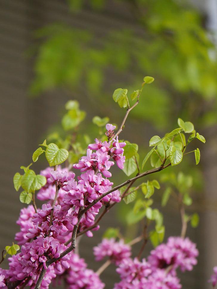 ハナズオウの花がたくさん咲いた。2021年-025.jpg