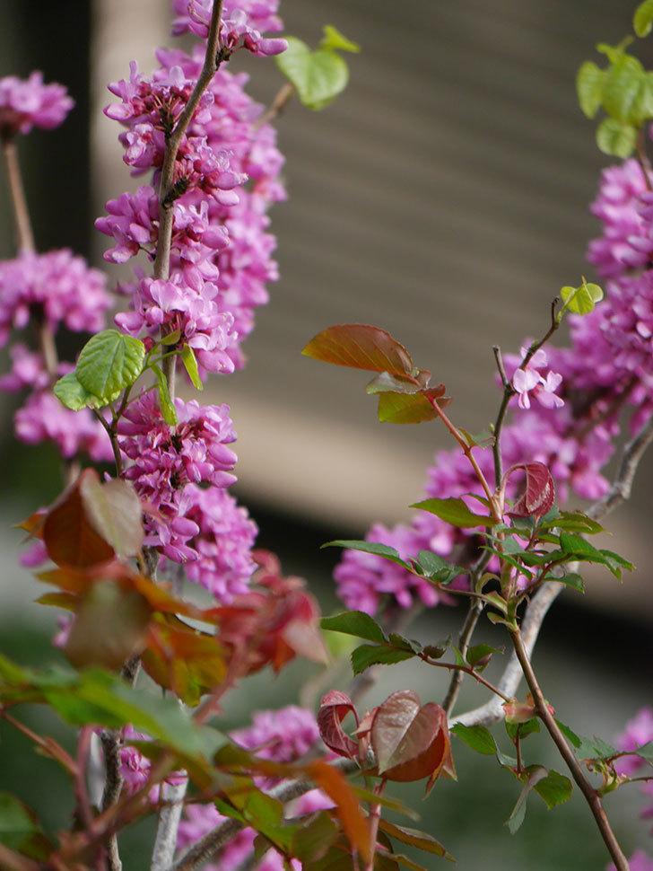 ハナズオウの花がたくさん咲いた。2021年-026.jpg