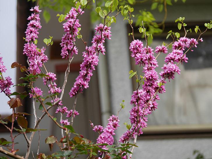 ハナズオウの花がたくさん咲いた。2021年-028.jpg