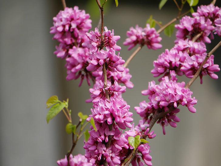 ハナズオウの花がたくさん咲いた。2021年-029.jpg