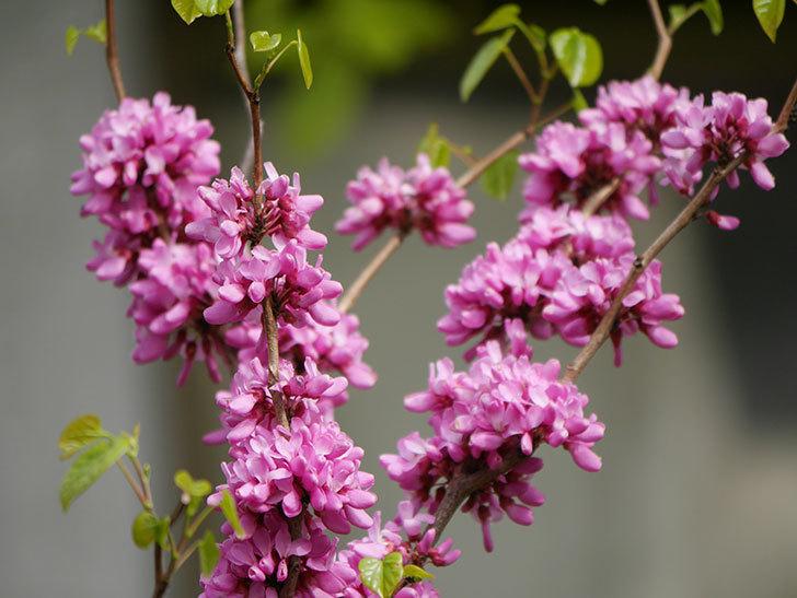 ハナズオウの花がたくさん咲いた。2021年-030.jpg
