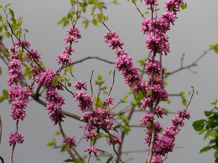 ハナズオウの花がたくさん咲いた。2021年-031.jpg
