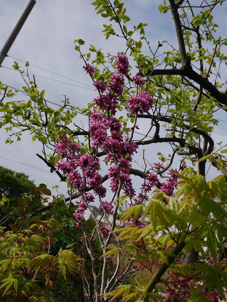 ハナズオウの花がたくさん咲いた。2021年-032.jpg