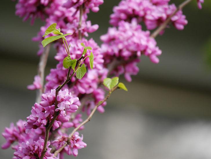 ハナズオウの花がたくさん咲いた。2021年-033.jpg