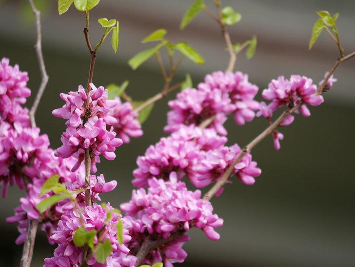 ハナズオウの花がたくさん咲いた。2021年-034.jpg