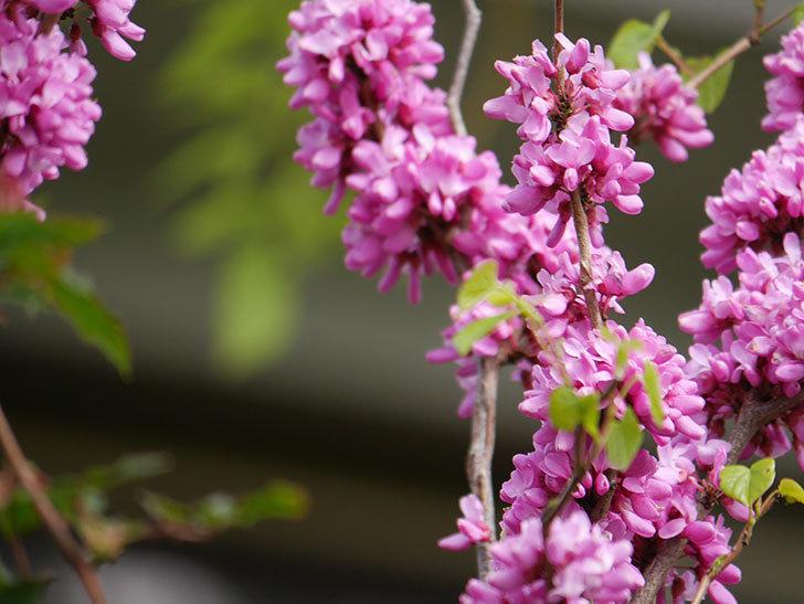 ハナズオウの花がたくさん咲いた。2021年-035.jpg