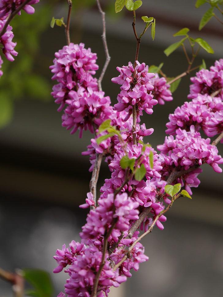 ハナズオウの花がたくさん咲いた。2021年-036.jpg