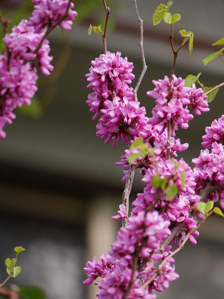 ハナズオウの花がたくさん咲いた。2021年-038.jpg
