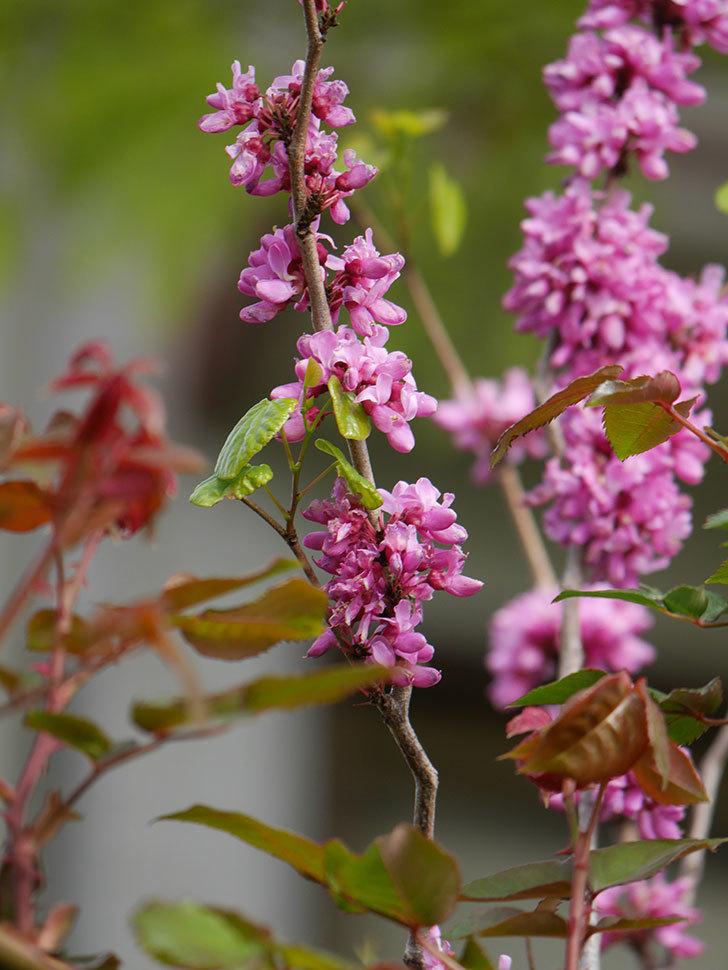 ハナズオウの花がたくさん咲いた。2021年-039.jpg