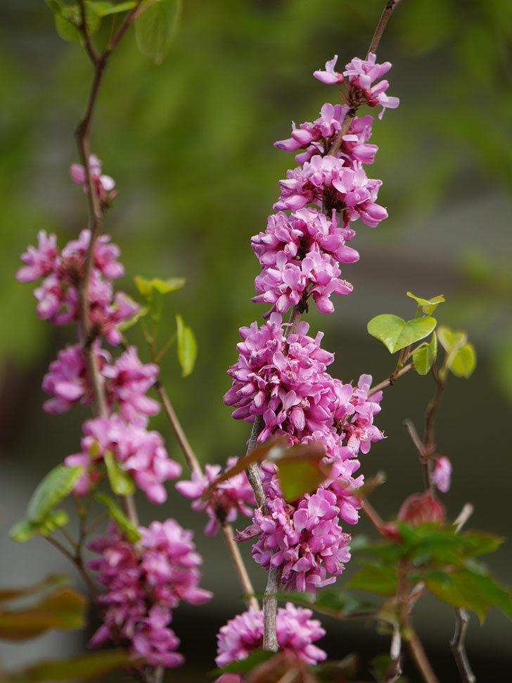 ハナズオウの花がたくさん咲いた。2021年-040.jpg