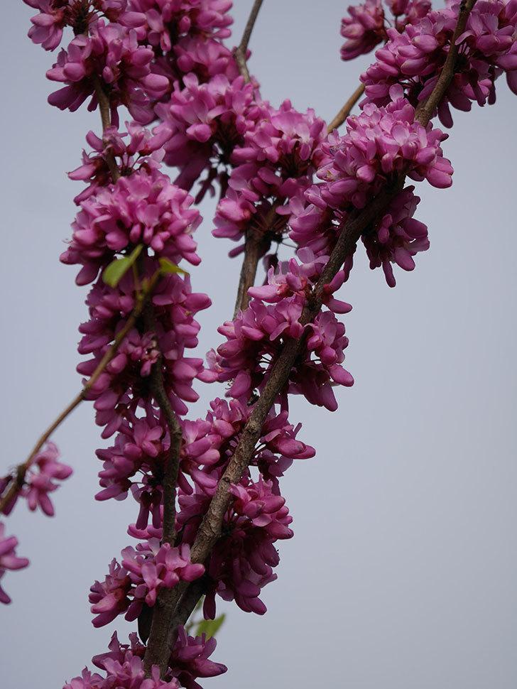 ハナズオウの花がたくさん咲いた。2021年-042.jpg