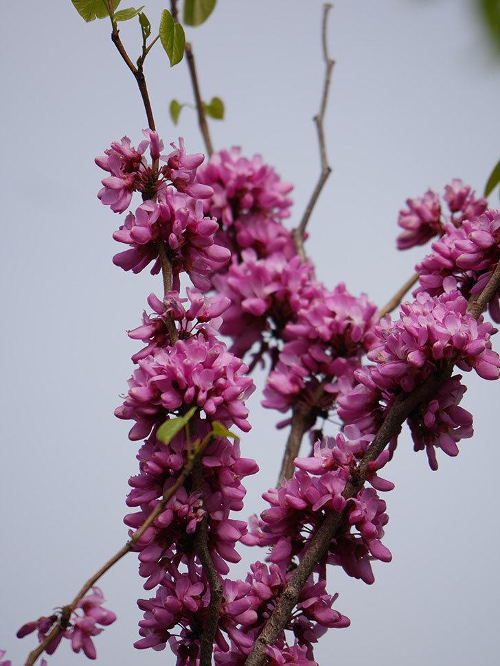 ハナズオウの花がたくさん咲いた。2021年-043.jpg