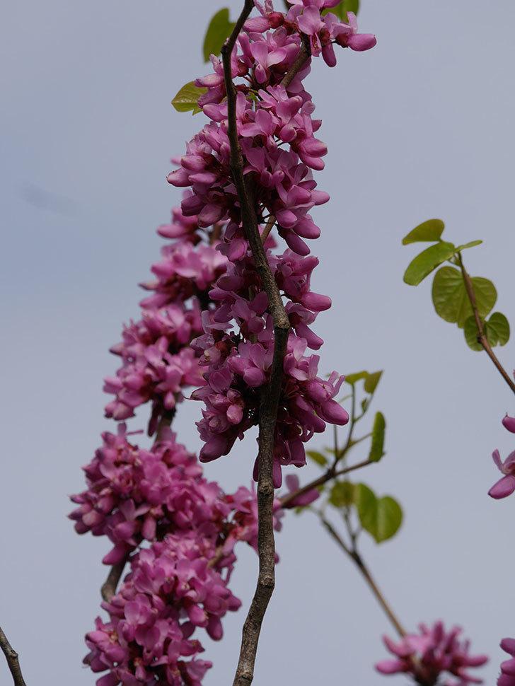 ハナズオウの花がたくさん咲いた。2021年-044.jpg