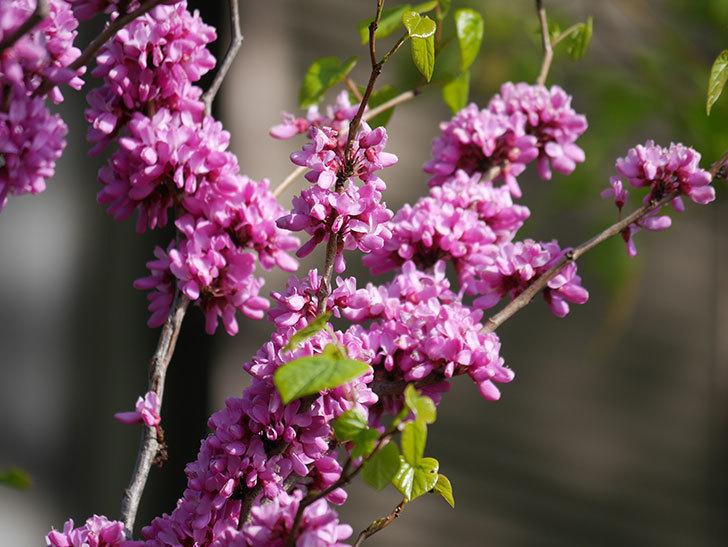 ハナズオウの花がたくさん咲いた。2021年-046.jpg
