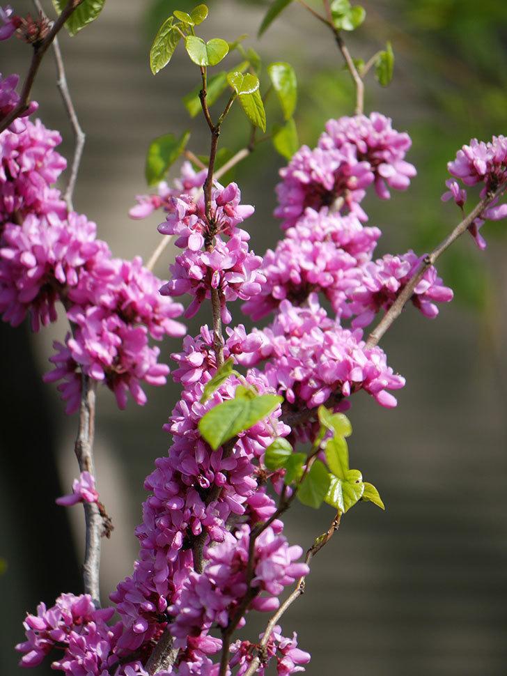 ハナズオウの花がたくさん咲いた。2021年-047.jpg