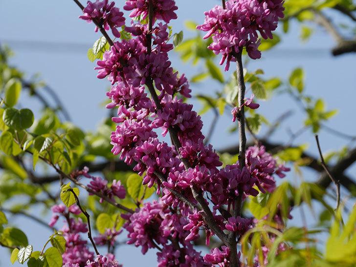 ハナズオウの花がたくさん咲いた。2021年-051.jpg