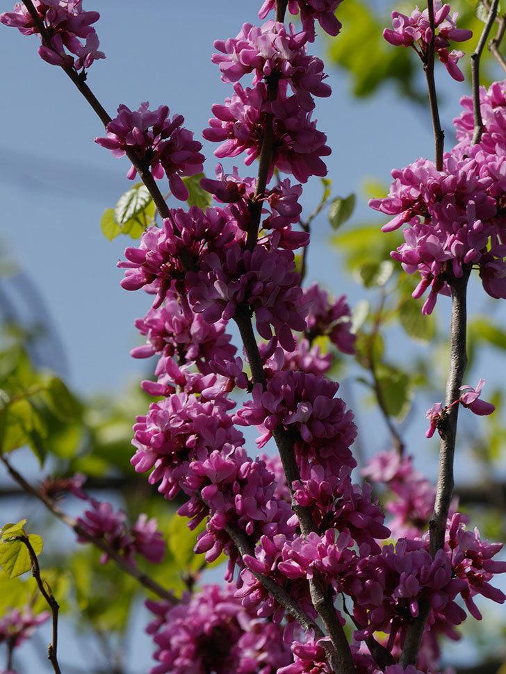 ハナズオウの花がたくさん咲いた。2021年-052.jpg