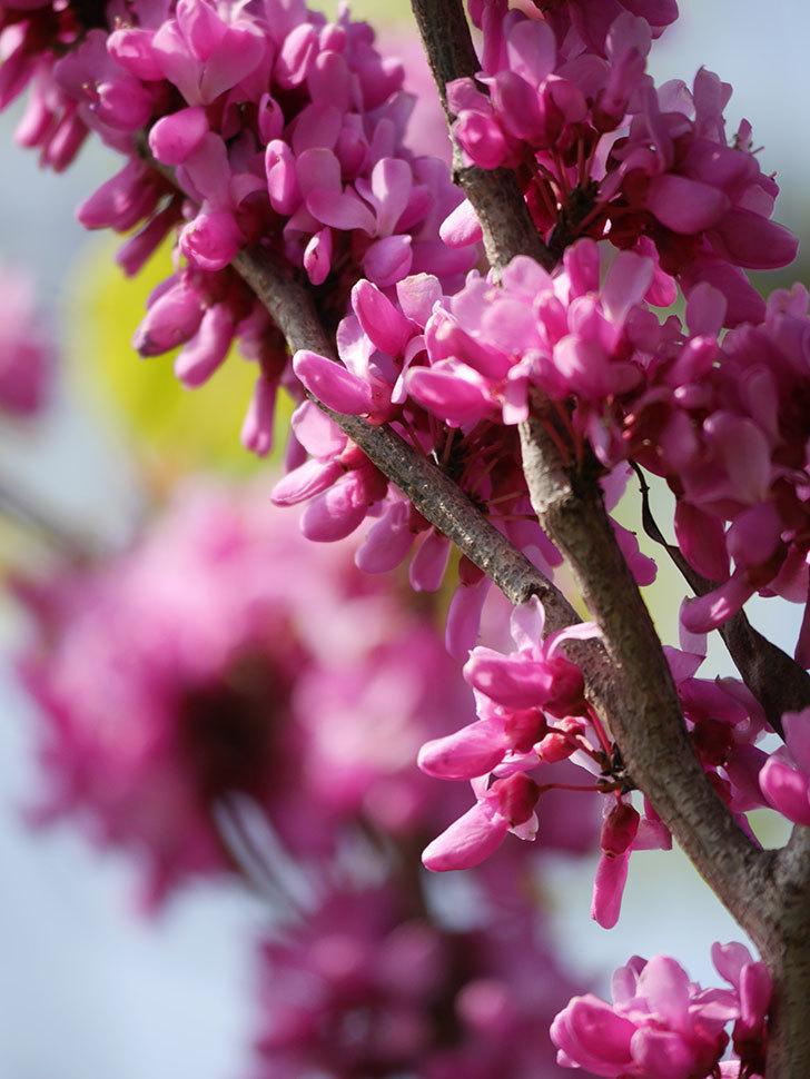 ハナズオウの花がたくさん咲いた。2021年-053.jpg