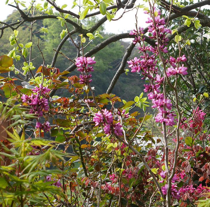 ハナズオウの花が咲いた。2018年-1.jpg