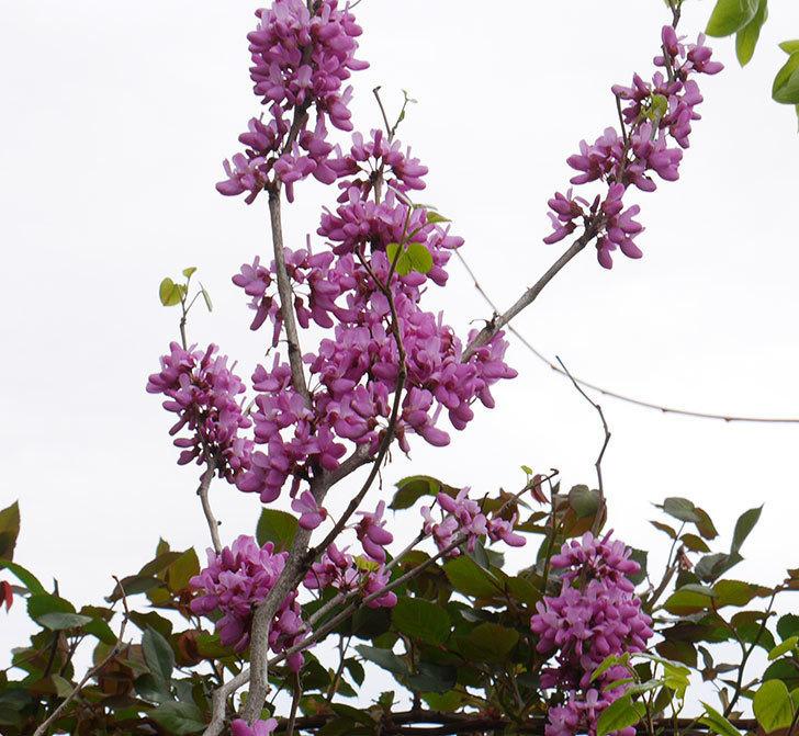 ハナズオウの花が咲いた。2018年-2.jpg