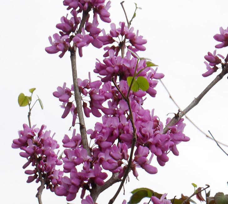 ハナズオウの花が咲いた。2018年-4.jpg
