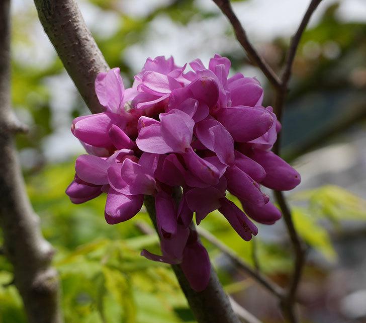 ハナズオウの花が咲いた。2020年-1.jpg