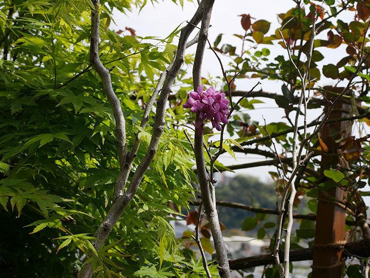 ハナズオウの花が咲いた。2020年-2.jpg