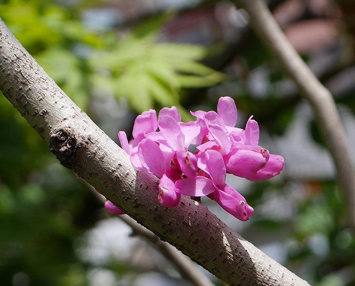ハナズオウの花が咲いた。2020年-3.jpg