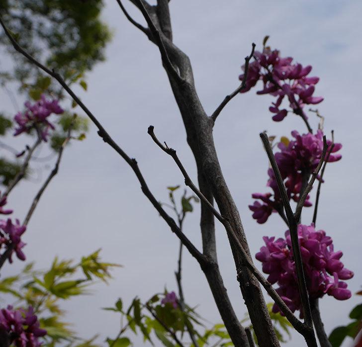 ハナズオウの花が咲いた。2020年-5.jpg