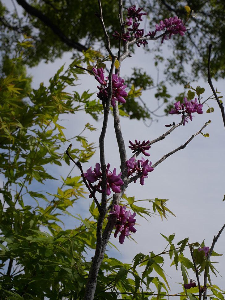 ハナズオウの花が咲いた。2020年-6.jpg
