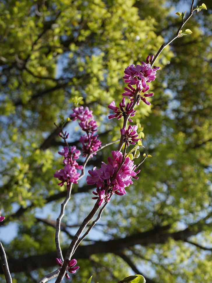 ハナズオウの花が咲いた。2021年-001.jpg