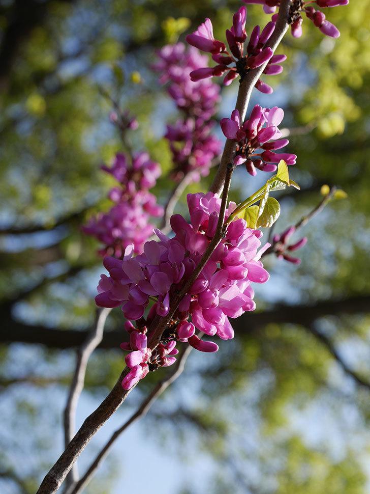 ハナズオウの花が咲いた。2021年-002.jpg